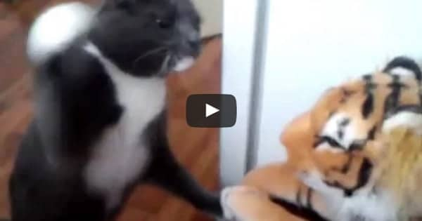 This Cat Totally HATES This Stuffed Tiger … Really!