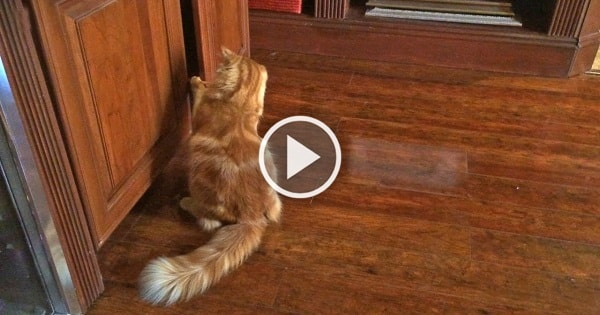 Clever Cat Can't Be Kept Away From His Favorite Toy!
