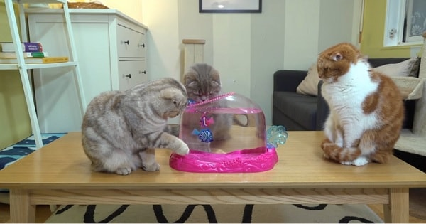 Some Curious Cats Reaction to Robotic Fish!