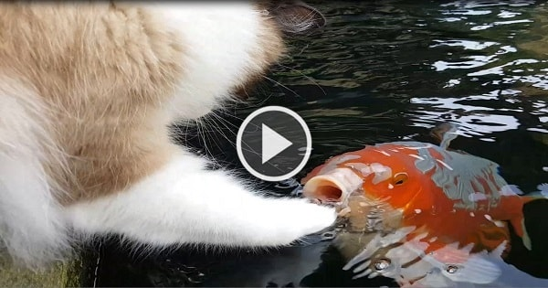 Extremely Curious Cat Discovers Koi In A Pond, Pets Fish …