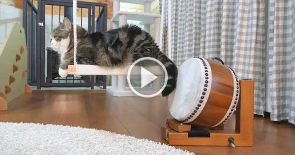 Maru The Cat And His Drum-Playing Skills!