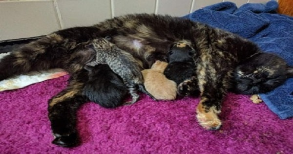 Bobtail Calico Cat Gives Birth To Very Special Litter Of Kittens