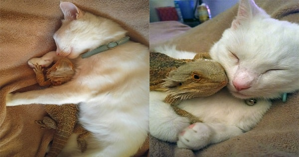 Cat Befriends A Bearded Dragon And Now They're Inseparable