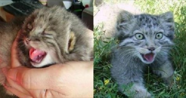 Farmer Discovered The Kittens He Found In His Barn Were No Ordinary Kittens!