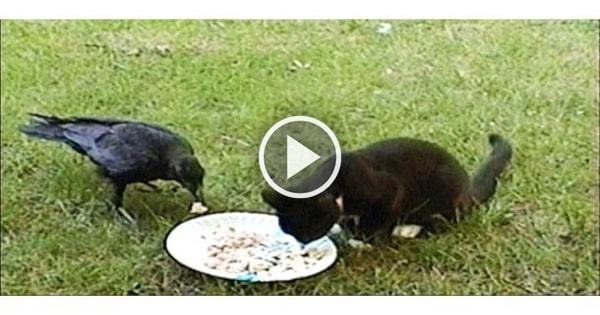Breathtaking Footage of a Crow Caring For …