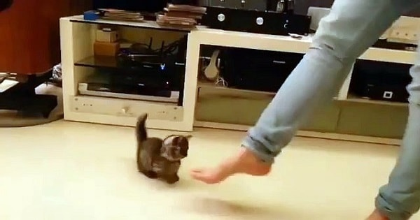 Adorable Kitten Dances With Her Human!
