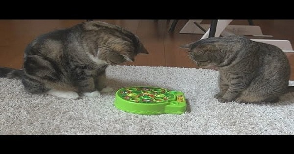 Maru and Hana Playing a Game