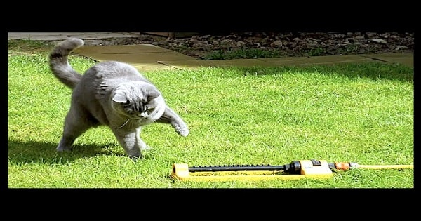 Curious Cat Enjoys Playing with Water Sprinkler