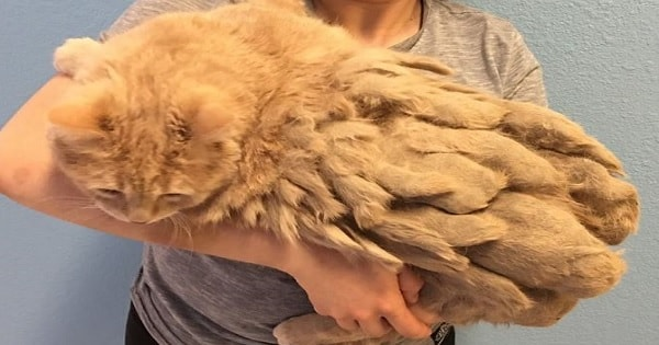 Completely Abandoned By His Humans, Shelter Removes 1lb Of Matted Fur From This Sweet Cat