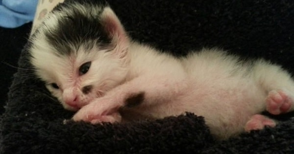 Two Day Old Kitten Covered in Maggots Rescued by an Unlikely Dog