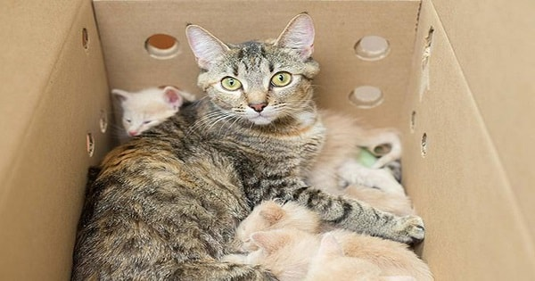 Loving Surrogate Super-Mom Cat Takes Care of Three Litters of Kittens at Once