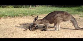 Friendly Kangaroo Tries to Befriend a Cute Cat