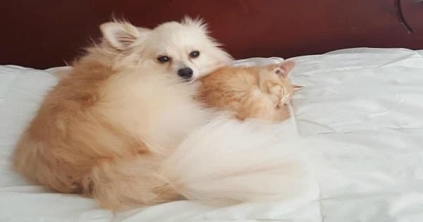 This Rescue Kitten Gets Adopted by the Family Dog – And Now …