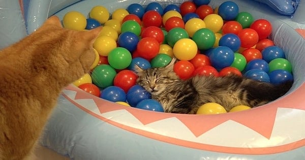 10 Cats Playing In A Pool Of Colored Balls