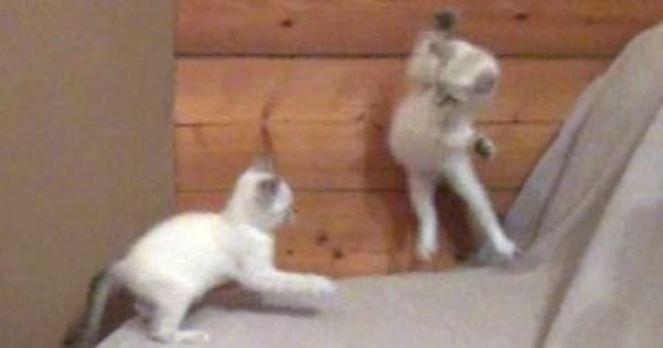 The Ultimate Foster Kitten Fight Club Video