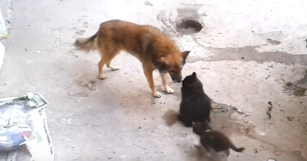 Mama Cat Brings Her Kittens to Meet an Old Friend