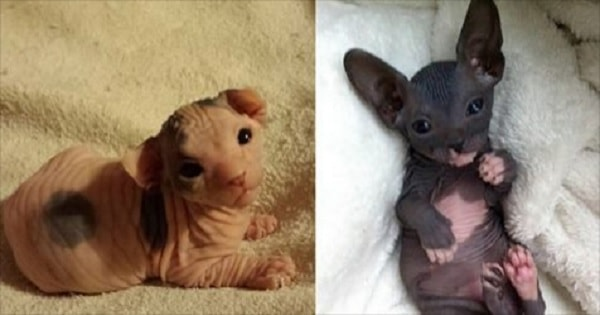 20 Photos That Prove Hairless Kittens Are Just Adorable Wrinkly Aliens