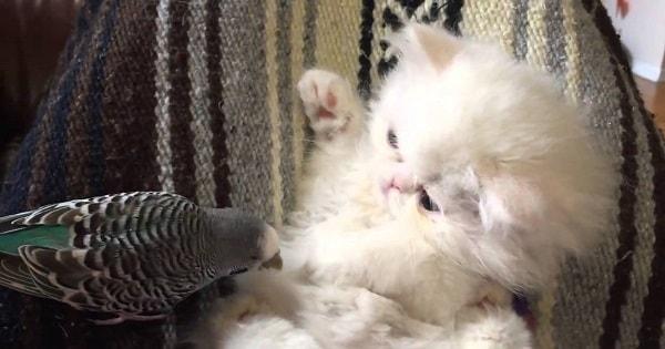 Fluffy Persian Kitten Socializes With Friendly Budgie Bird