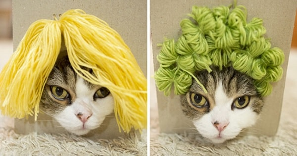 Maru The Cat Tries On Different Wigs By Accident After His Owner Builds A Box Trap, And It's Hilarious