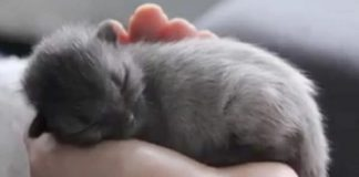 When This Kitten Was Born He Was Gray, But When He Grew Up ...
