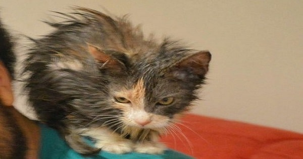 Tiny Kitten Near Death When They Found Her And Now, 2 Years Later …