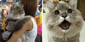 This Is Bone Bone! The Enormous Fluffy Cat From Thailand Who Everyone Asks To Take A Picture With