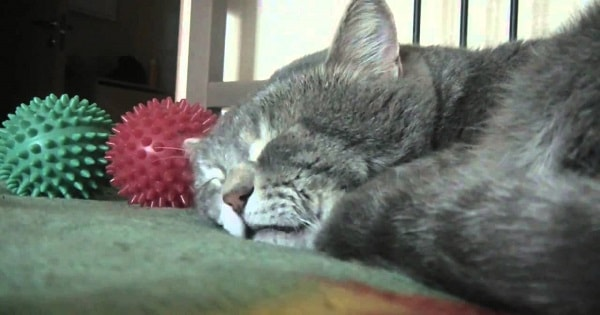 Sleeping Cat Literally 'Quacks' When His Owner Coughs - A Must-see