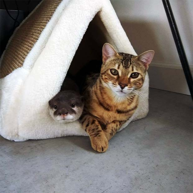 Sam The Bengal Cat & Pip The Otter 1