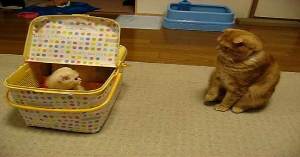 Adult Cat's 'Close Encounter' With A Small Kitten