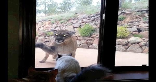 Brave Pet Cat Stands Up To Mountain Lion …