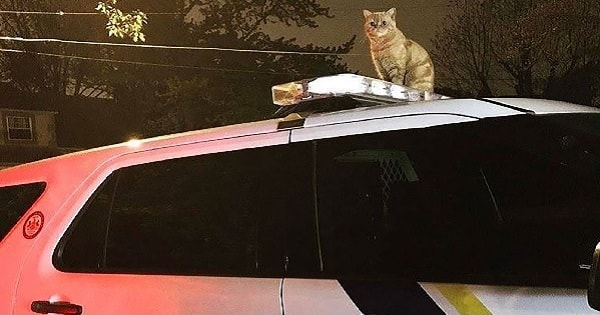 Cat Shows Dominance Over All Dogs by Casually Sitting Atop Cop Car That Has …