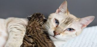Rescue Bengal Mama Cat Is So Happy Her Last 2 Babies Survived and Now ...