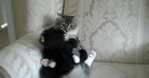 Affectionate Cat Simply Cannot Stop Cuddling With Her Favorite Friend, A Teddy …