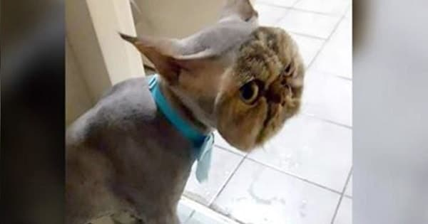 Cat Goes To The Groomer And Returns Home Looking Like This