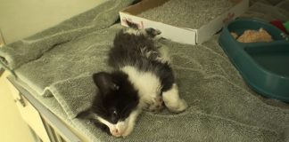 Inspiring Story of Pretzel, The Rescued Kitten With Crushed Leg