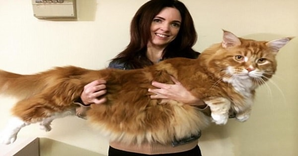 Cat In Australia, Weighing 30 Pounds, Is Set To Become The …