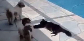 Cat Was Lying Down By The Pool And Teaches Annoying Dogs A Lesson