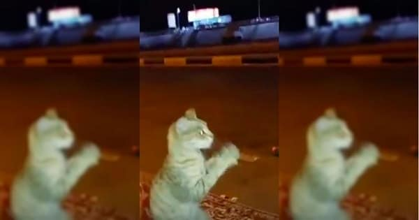 Sneaky But Smart Cat Pretends To Be Human To Avoid Confrontation With Dog …