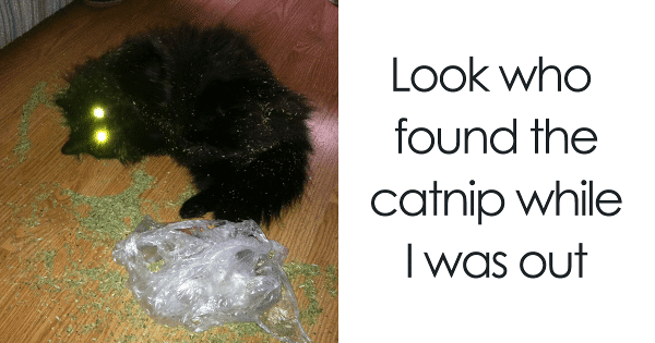 20+ Times Kitties Stumbled Upon Catnip, And Well, Hilarity Ensued