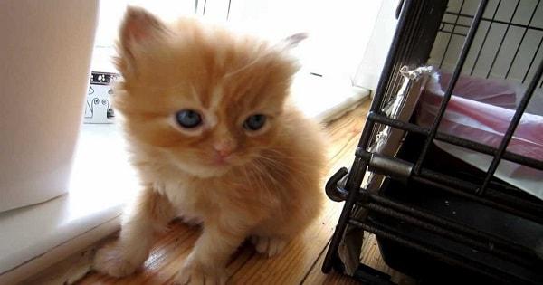 Cute Ginger Kitten Meows For Love Then Falls …