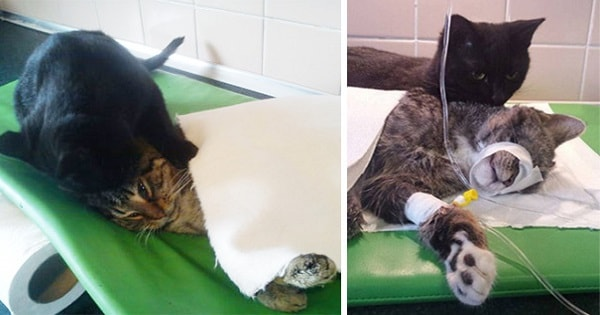 Amazing Nurse Kitty From Poland Looks After Other Animals At Animal Shelter