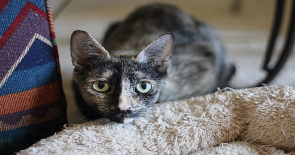 'Mimosa' – A Wonderful Mama Cat Whose Babies Are Gone But Now She Needs A Loving Forever Home
