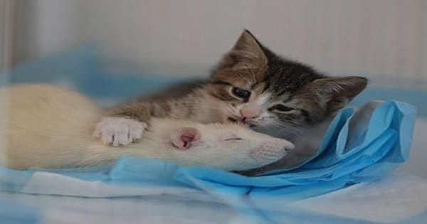 Rescued Rats Help Take Care Of Orphaned Kittens At This Beautiful …