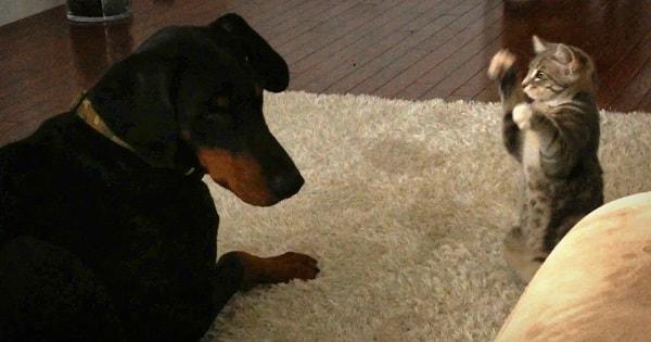 Dog Vs Cat: Cute 'Ninja' Kitten Shows Doberman Who's Boss