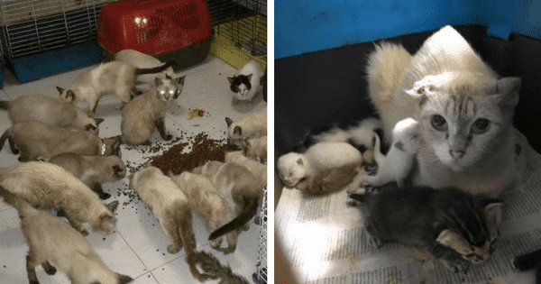 Almost 100 Cats Crammed Into Filthy Apartment By Backyard Breeder, Until These …
