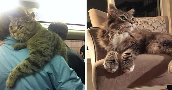 24 Cats That Are So HUGE - It's Astounding