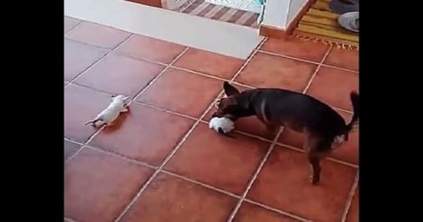 Dog Gets Way Over His Head As He Attempts To Herd Kittens