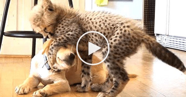 Anxious Cheetah And His Loving Support Dog Make The Cutest Pair And The Internet Is Totally Obsessed