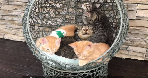 Grandfather Cat Gets Smothered By Lively Kittens!