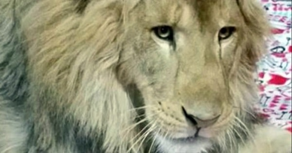 Rescued Lion's Odd Bedtime Routine Is Sure To Melt Your Heart Today!